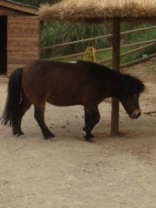 Pongus the hotel pony